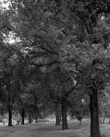 Avenue of trees, Ross Straw Field, within construction zone. Silver gelatin photograph