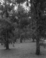 Casuarina grove next to the Zoo, within construction zone. Silver gelatin photograph