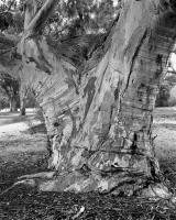 River red gum trunk, Elliott Avenue, within construction zone. Silver gelatin photograph