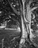Moreton Bay Fig at tram stop twenty two, within construction zone. Silver gelatin photograph