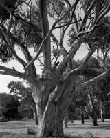Sugar gum, Macarthur Road, within construction zone. Silver gelatin photograph