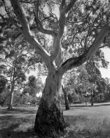 River red gum. Australian Native Garden. Silver gelatin photograph
