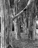 Sugar gums McAlister Oval. Silver gelatin photograph