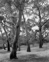 Remnant grassy woodland, within construction zone.  Silver gelatin photograph