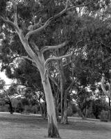 River red gum, with Sugar gums behind opposite Urban Camp, within construction zone. Silver gelatin photograph